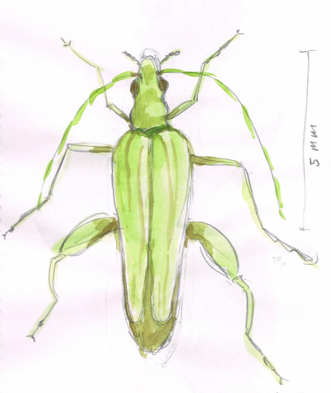 oedemera-2.jpg