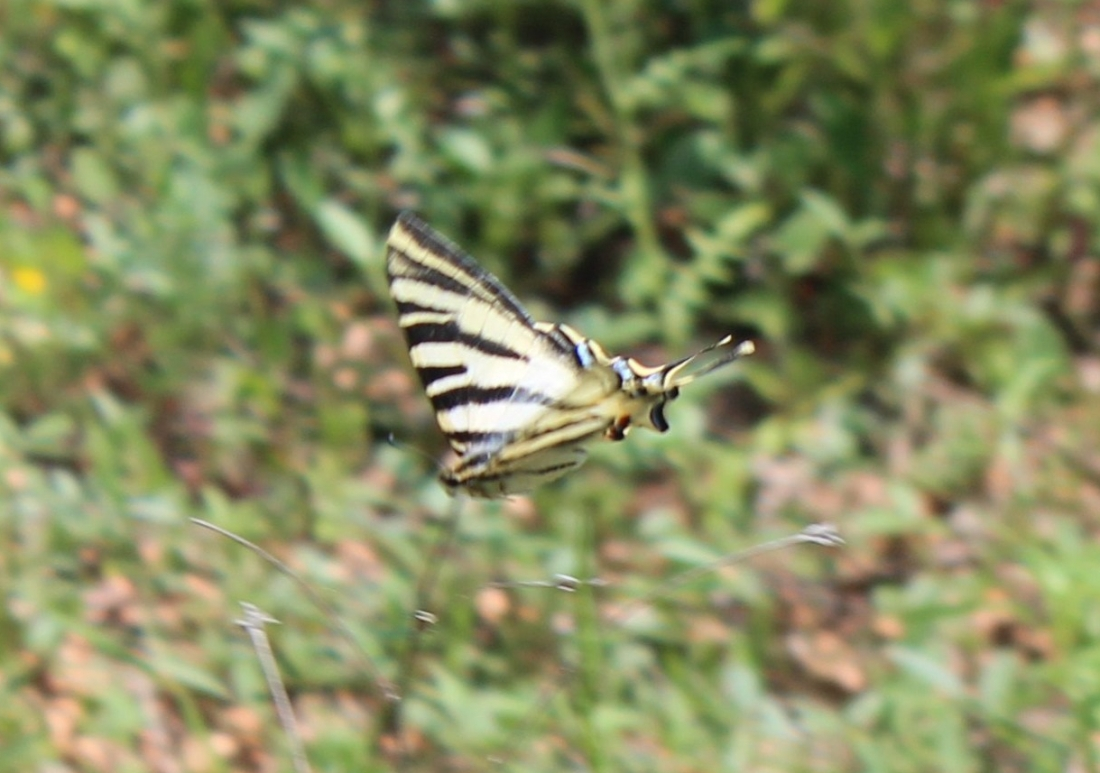 """Podalirio o Chupa Leche"" (Iphiclides podalirius) (Cat.papallona zebradao xuclallet)3"