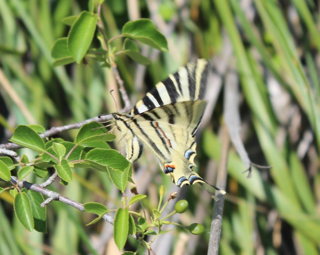 """Podalirio o Chupa Leche"" (Iphiclides podalirius) (Cat.papallona zebradao xuclallet)2"