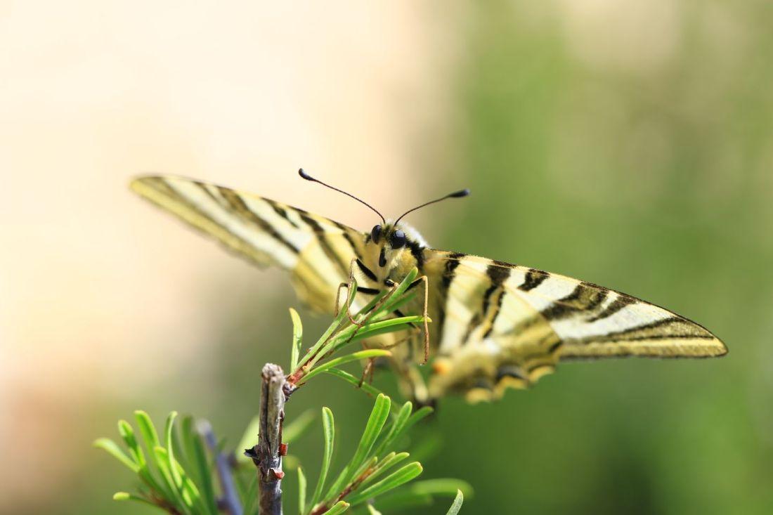 """Podalirio o Chupa Leche"" (Iphiclides podalirius) (Cat.papallona zebradao xuclallet)1"