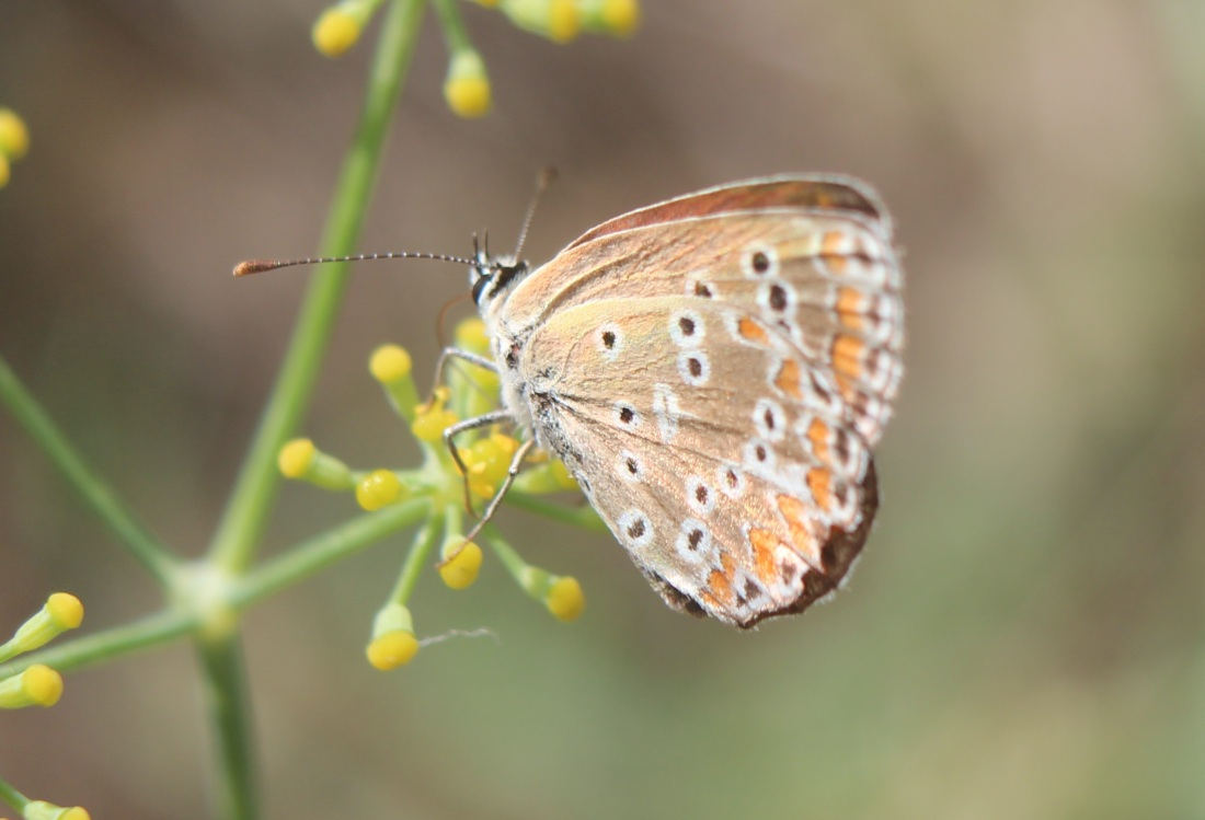 Aricia cramera 5