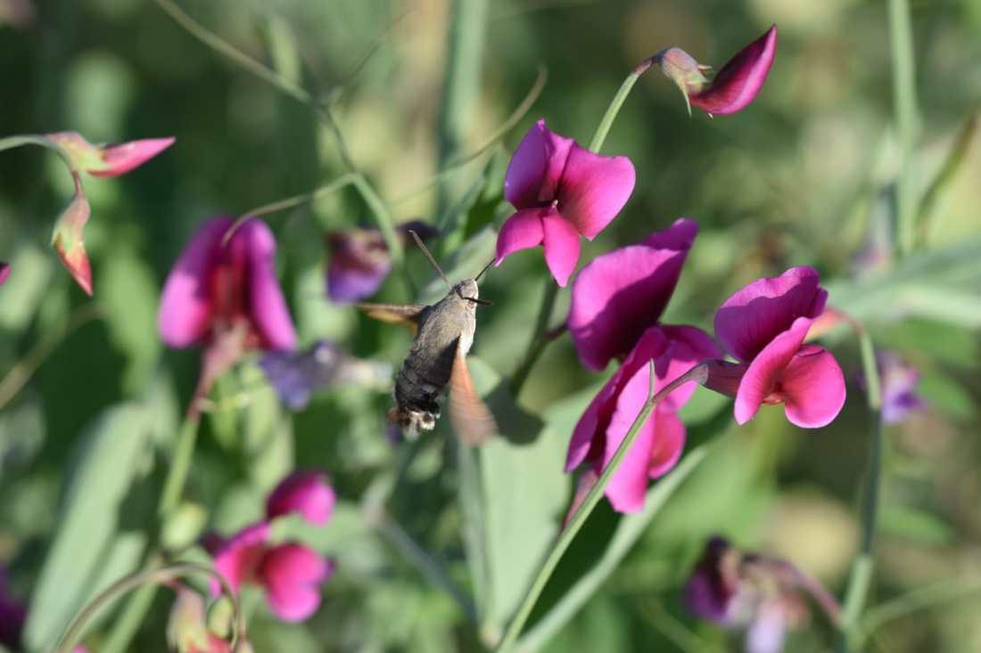 Esfinge Colibrí (Macroglossum Stellatorum) 2 (Foto de Jose M. Coso)