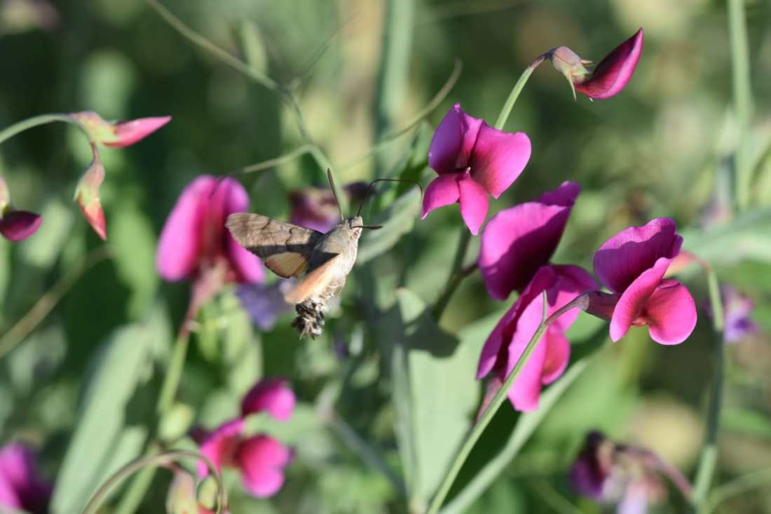Esfinge Colibrí (Macroglossum Stellatorum) 8