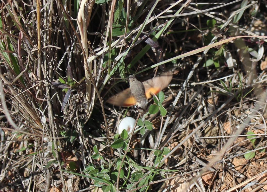 Esfinge Colibrí (Macroglossum Stellatorum) 6