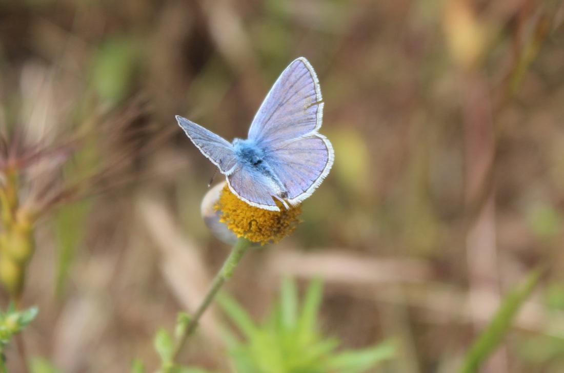Polyommatus Icarus 1