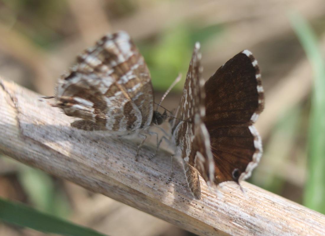 Cacyreus marshalli 1