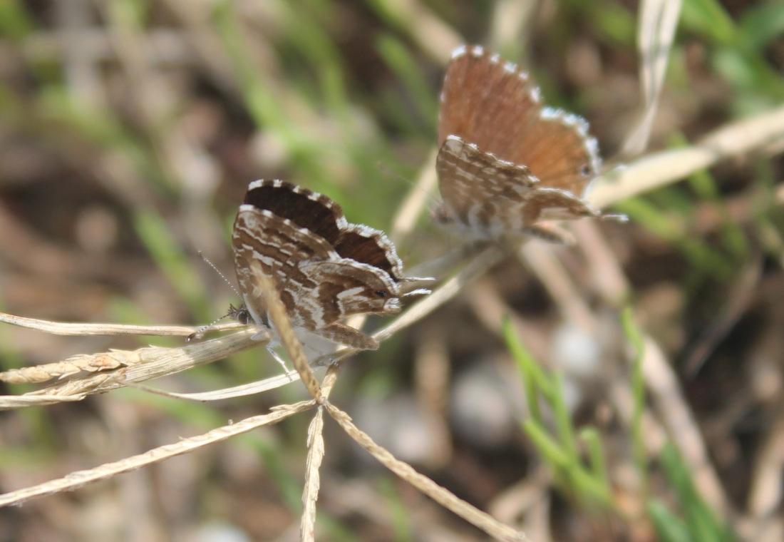 Cacyreus marshalli 2