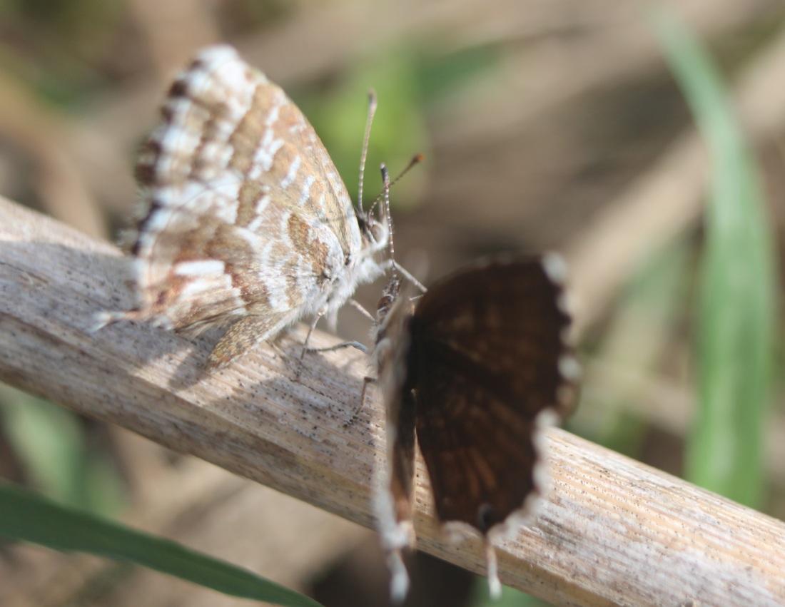 Cacyreus marshalli 3