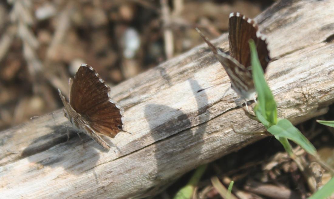 Cacyreus marshalli 5