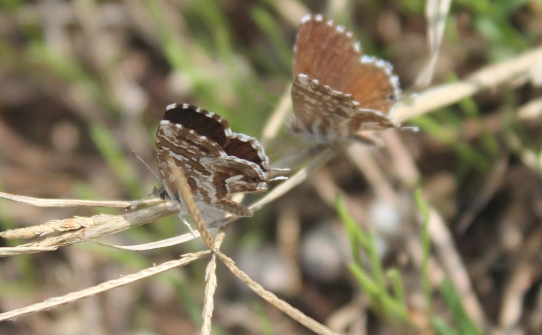 Cacyreus marshalli 6