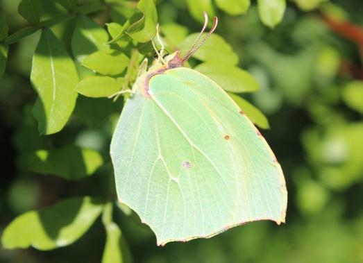 Gonepteryx rhamni 2