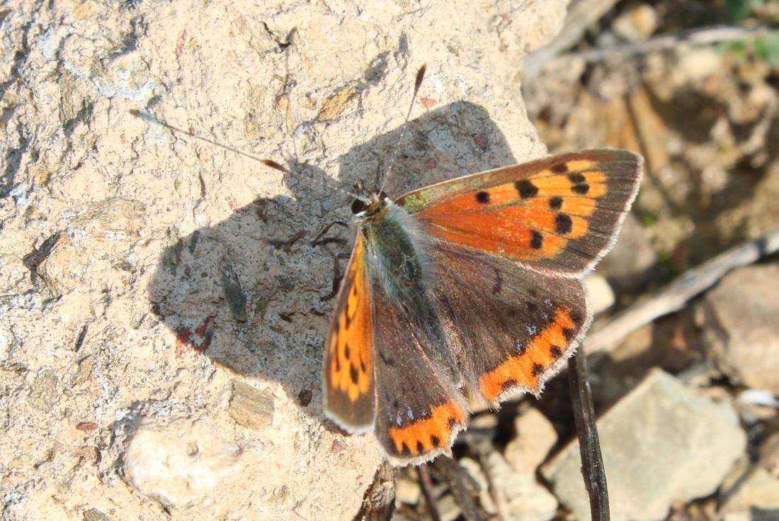 Lycaena phlaeas 5
