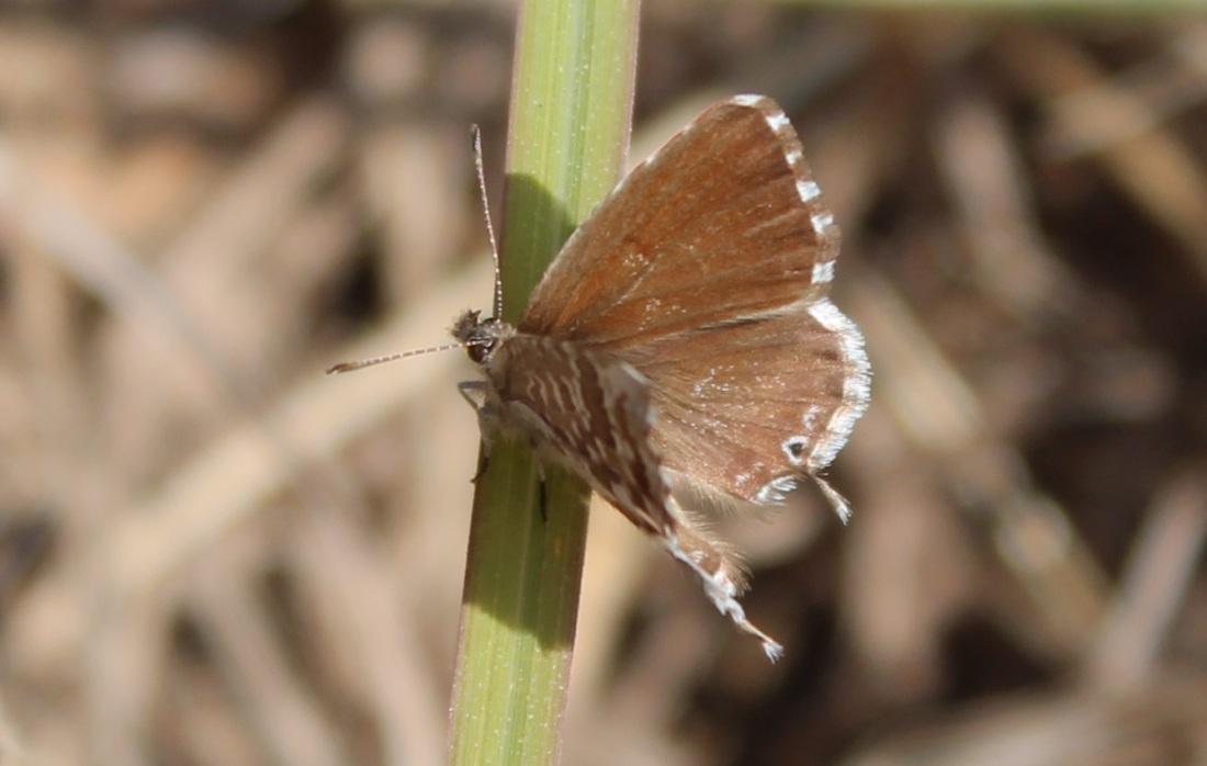 Cacyreus Marshalli (m. del Geranio)