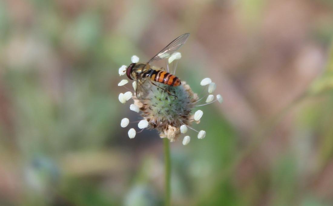 Episyrphus balteatus, mosca cernidora 1