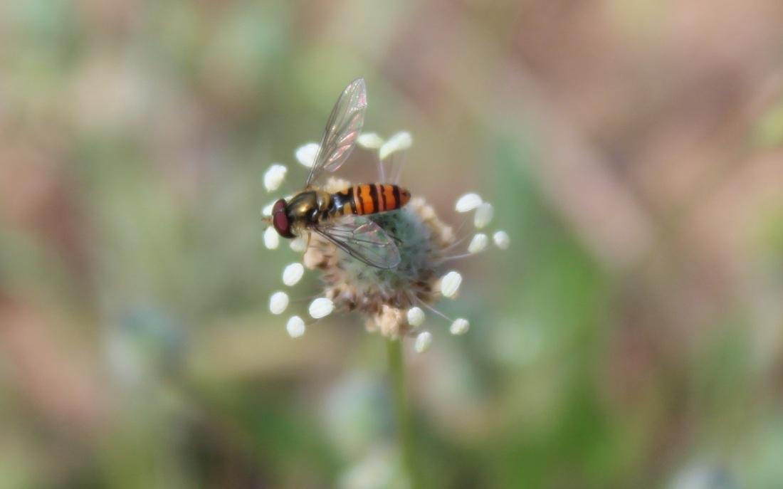 Episyrphus balteatus, mosca cernidora 2