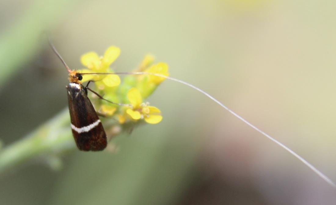 Adela australis (Macho)