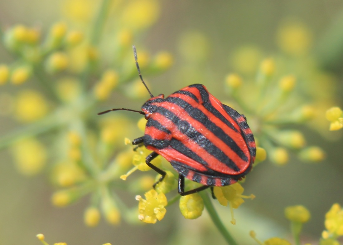 Graphosoma lineatum 1