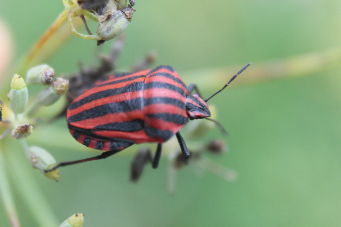 Graphosoma lineatum 2