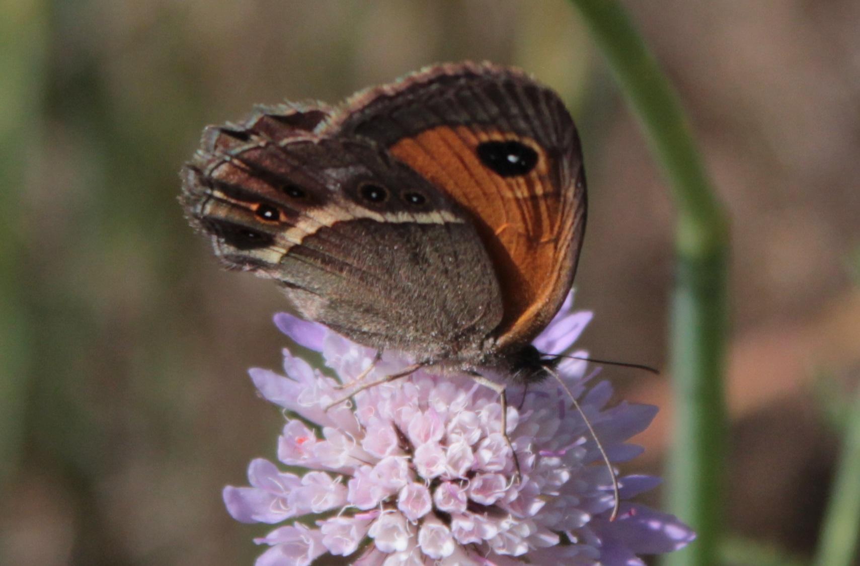 Lobito listado (Pyronia bathseba)4