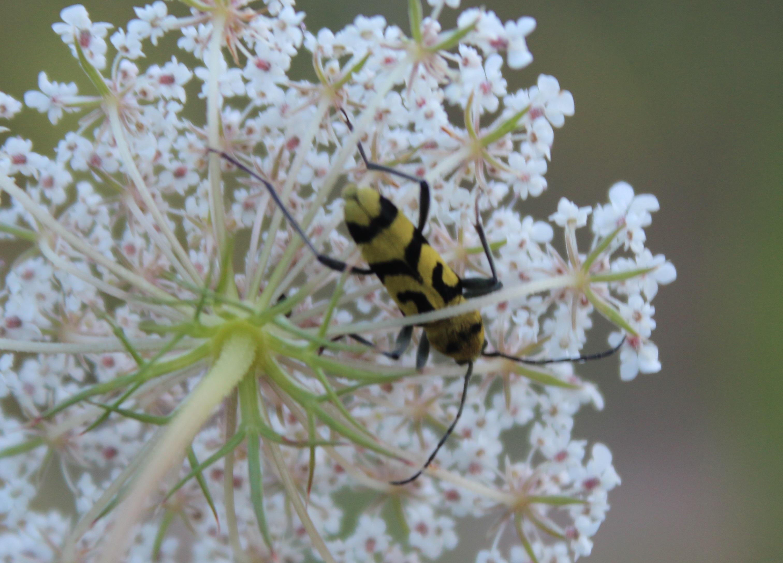 Chlorophorus varius 1