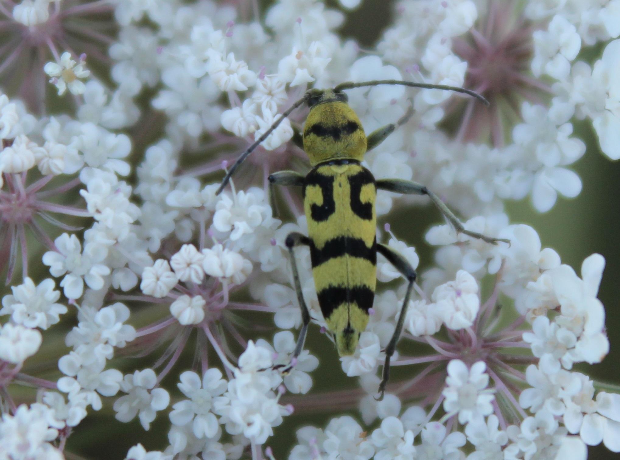 Chlorophorus varius 2