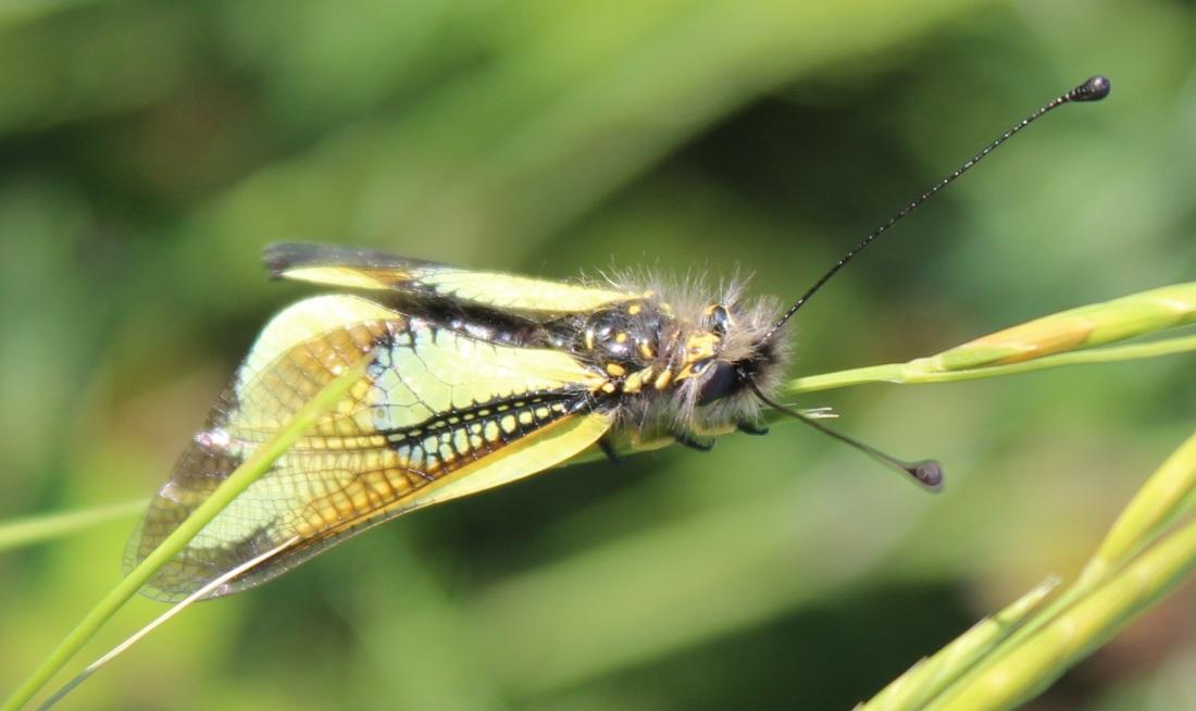 Libelloides cunii 1