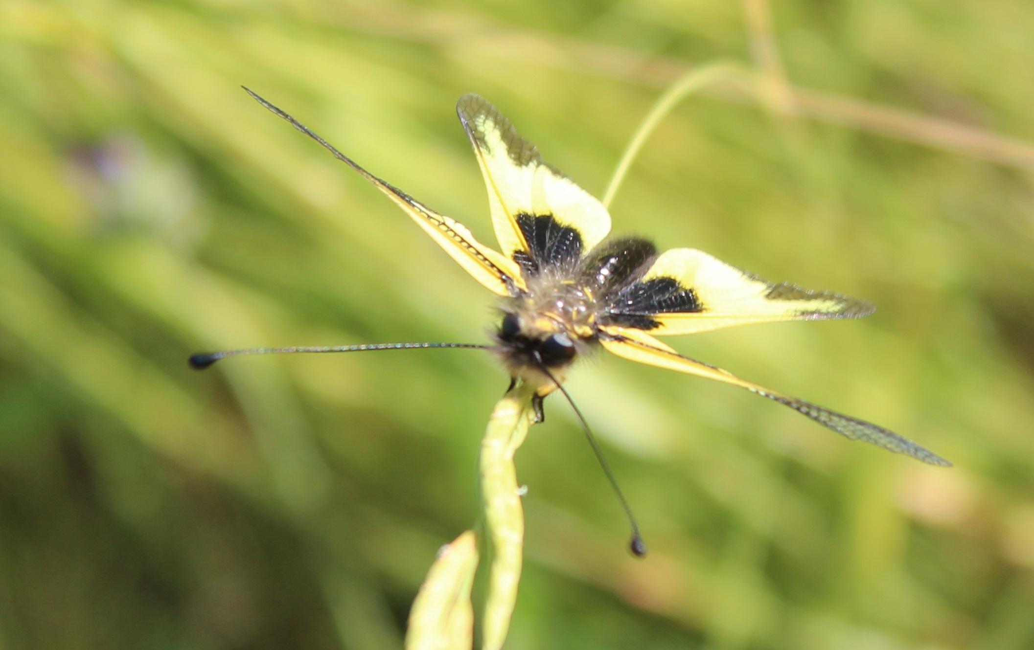 Libelloides cunii 2