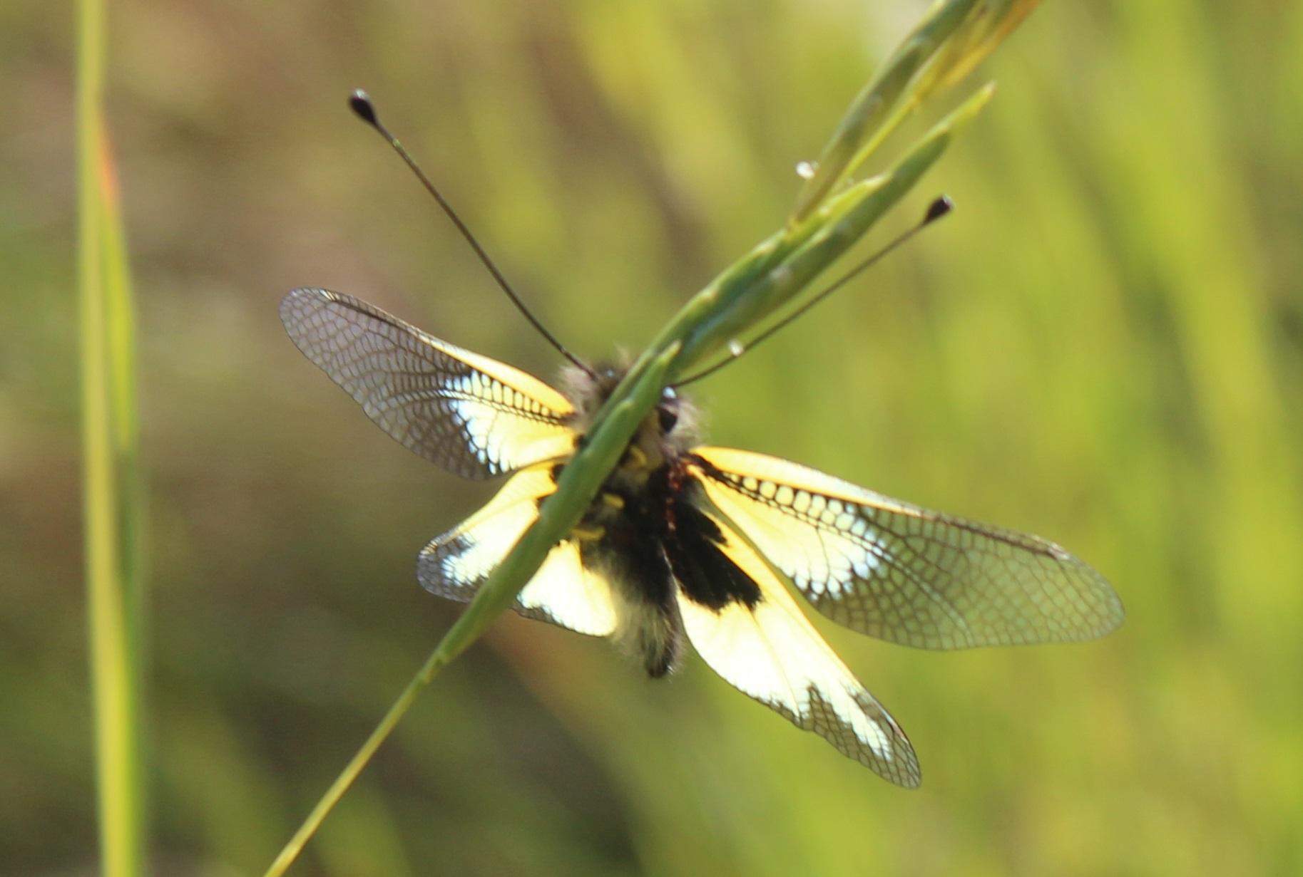 Libelloides cunii 3