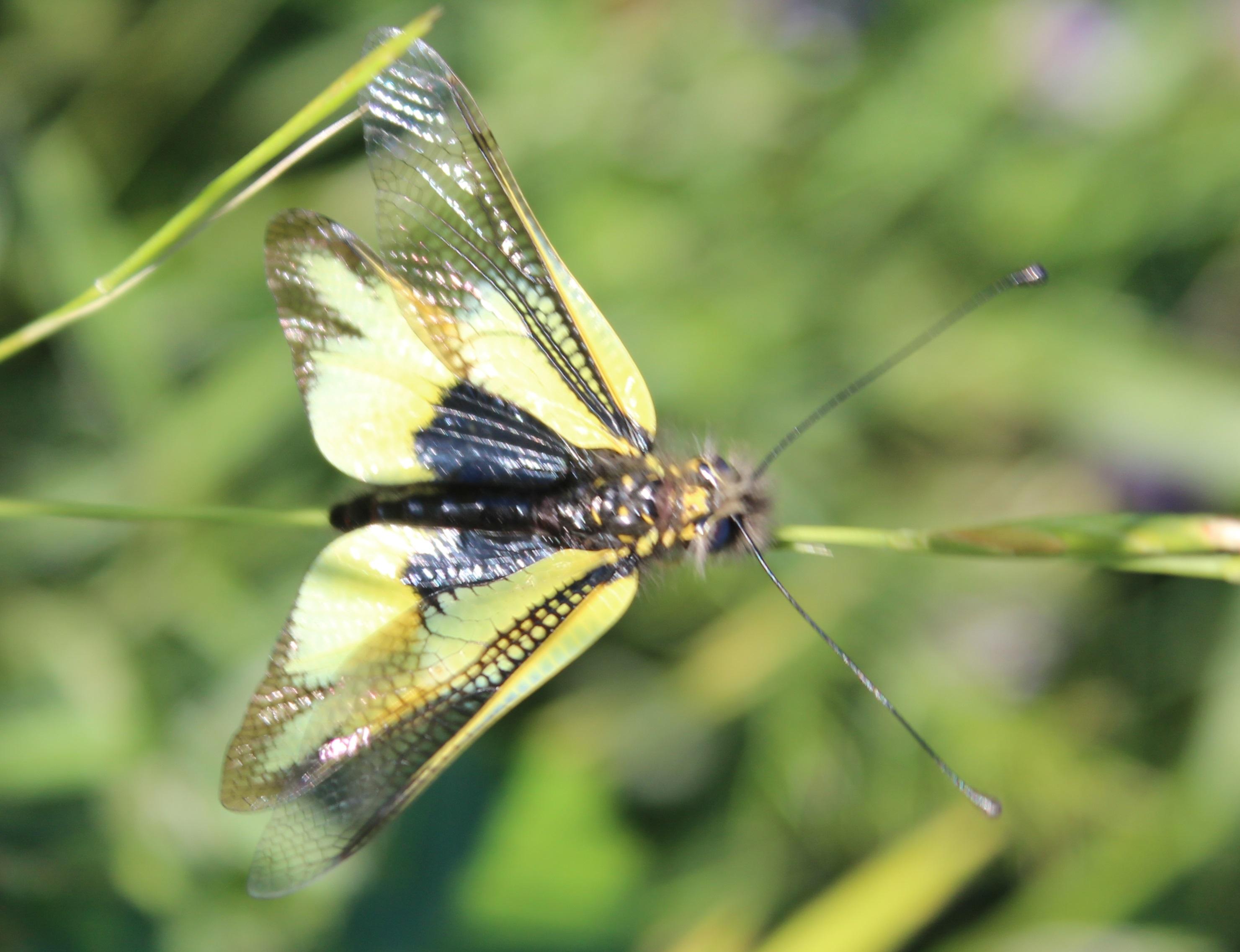 Libelloides cunii 6