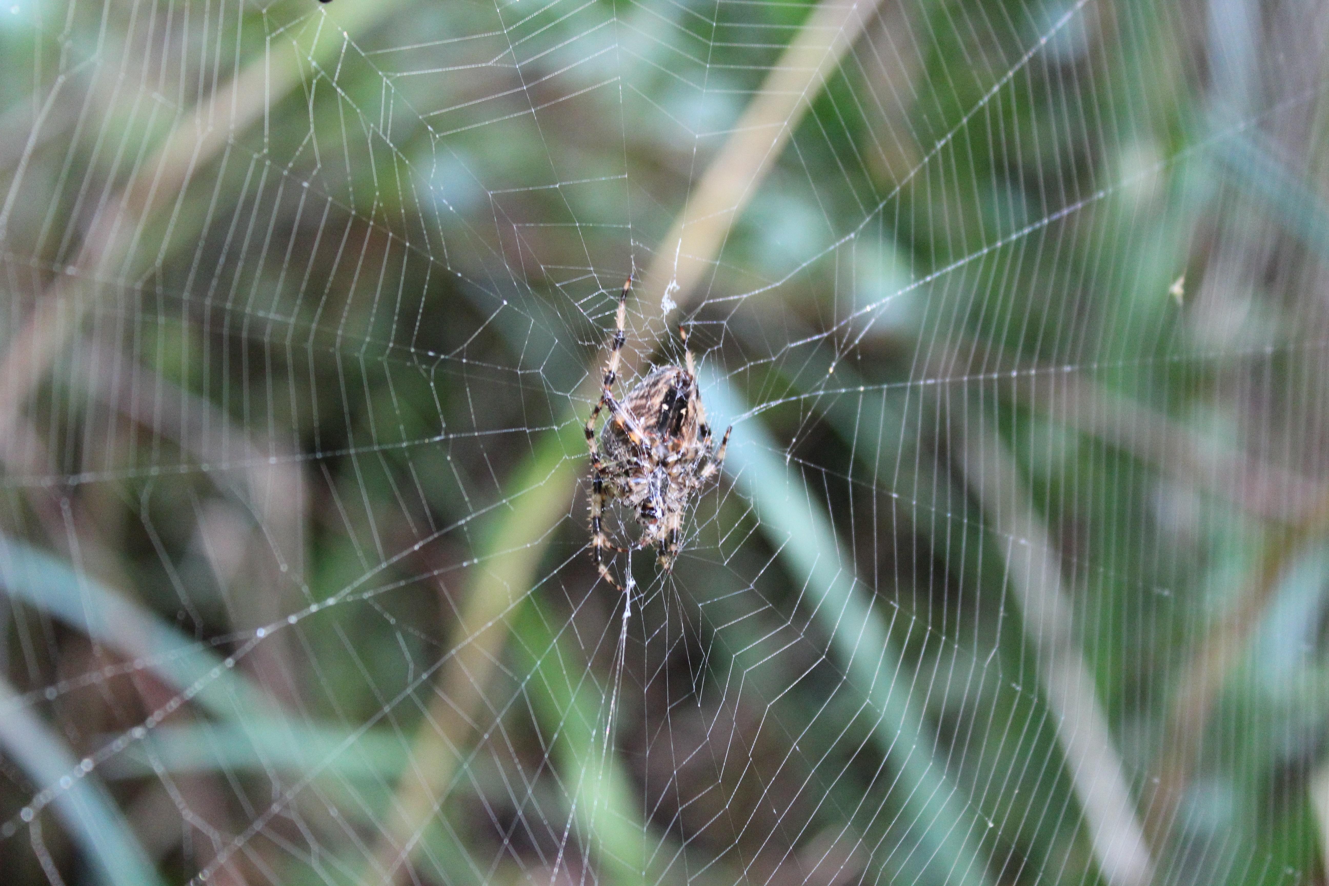 Araneus diadematus 1